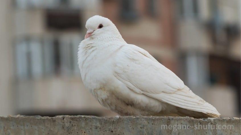 怪盗キッドが飼っている白い鳩のイメージ画像